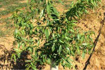 California Almonds: Pruning 1st Leaf Potted Trees