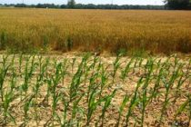 Delaware Corn: Watch for Stink Bugs Moving in from Wheat