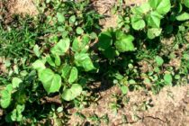 Texas West Plains: Cotton a Mixed Bag; Peanuts, Corn Doing Well; Replanting Sorghum
