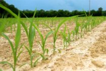 Mississippi: Grain Sorghum Acreage May Fall to Record Lows