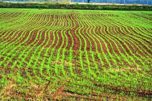 Texas Wheat: Crediting Soil N Can Cut Costs Without Cutting Yield