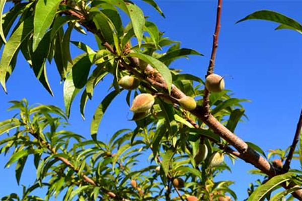 Tree Crops: New Weed Herbicide for Apple and Peach Growers in Carolinas and Virginia