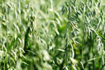 Oklahoma Livestock: Spring-Planted Oats May Be Viable Option for Forage
