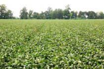 Tennessee: 3 Soybean Scout Schools in July
