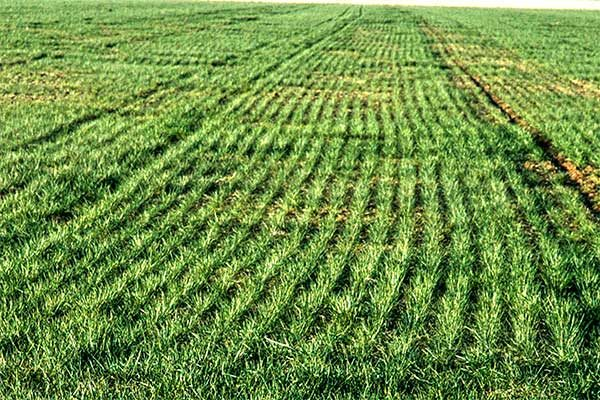 Wheat: Where Quelex Fits In Customized Weed Management